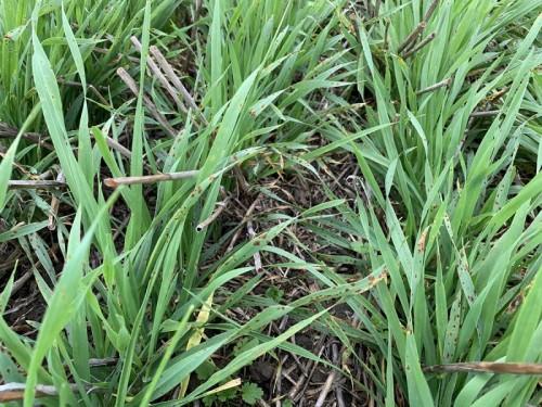 Sunt fungicidele o soluție pentru obținerea de producții ridicate în cultura de grâu?